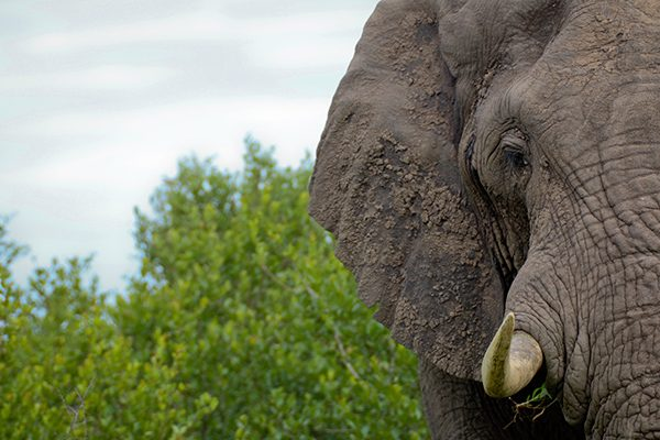 Botswana Gallery - Elephant
