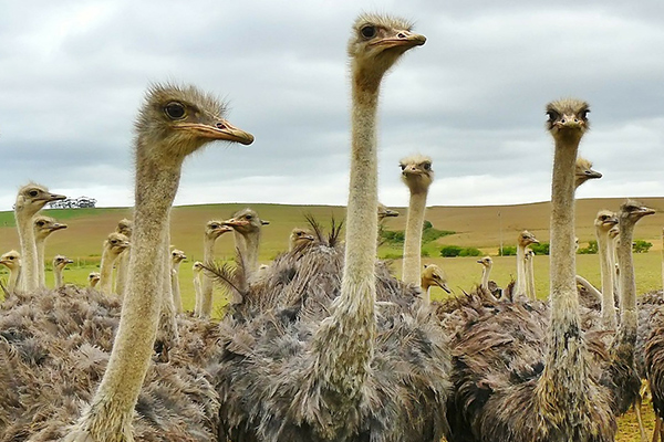 Ostriches at Oudtshoorn - Garden Route Uncovered