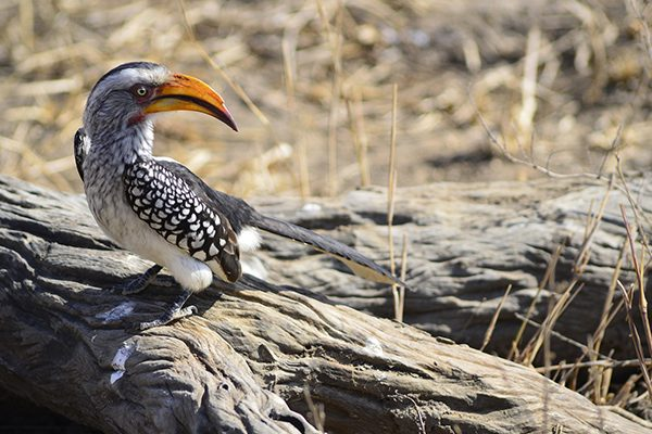 Kruger - Yellow-billed hornbill