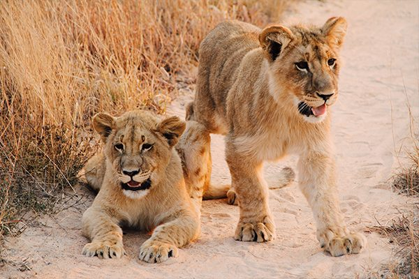 Two lion cubs - Zimbabwe Highlights