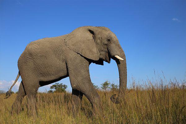 Zimbabwe Gallery - Elephant Hwange
