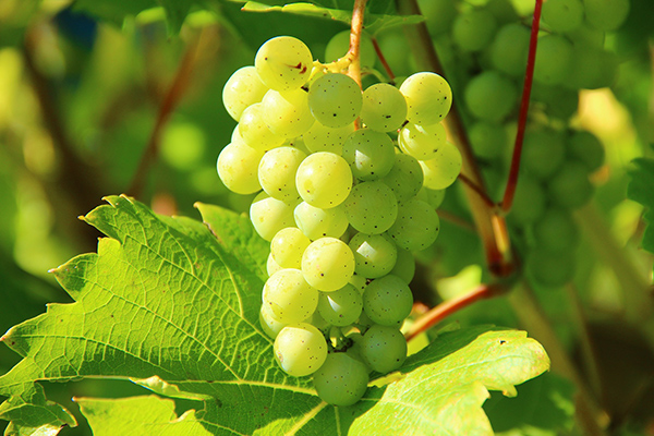 Full Day Winelands Tour - grapes close up
