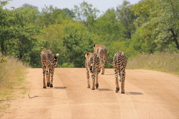 Four cheetahs walking down a road