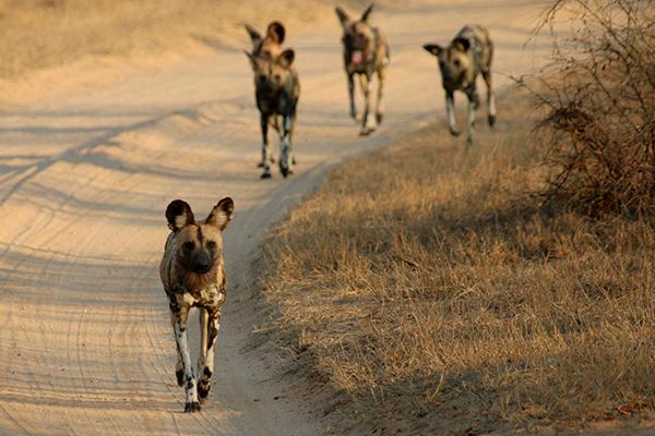 Pack of wild dogs - Kruger Park