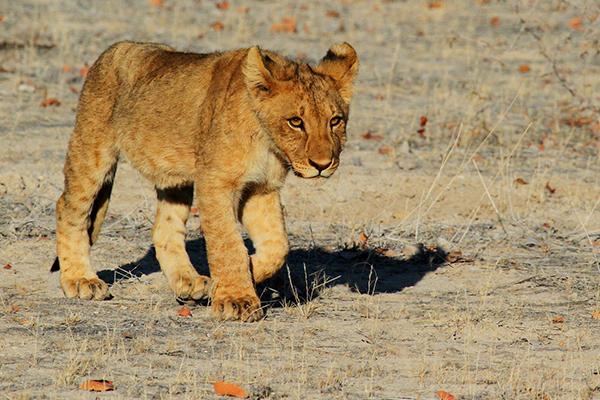 Lion cub - Kruger Park