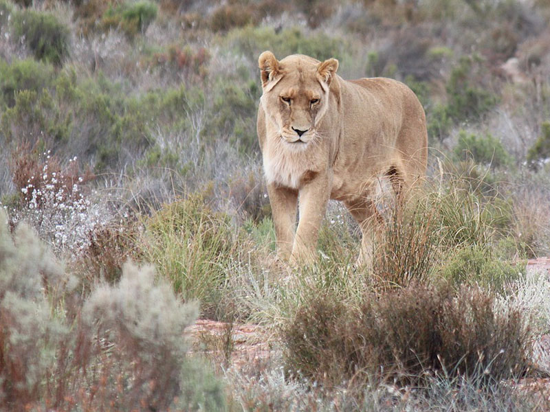 Lioness in the Aquila Safari