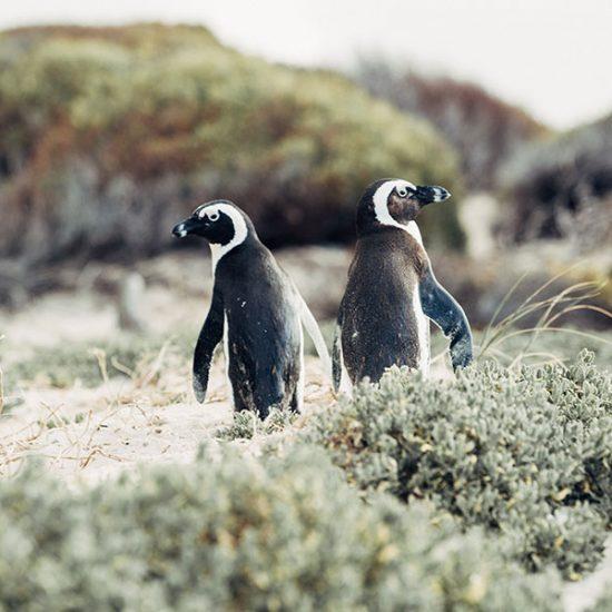 Two penguins - Cape Highlights tour