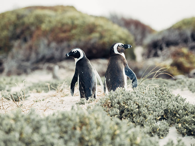 Two penguins - Cape Highlights tour