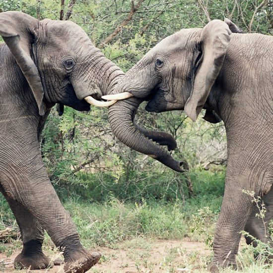 Two young elephants play fighting