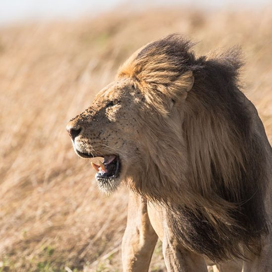 Lion facing the wind